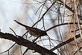 Spotted Towhee San Pedro House Sierra Vista AZ 2018-01-30 13-14-29 (39323156764).jpg