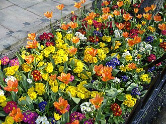 Bedding (horticulture) - Spring bedding (tulips and polyanthus), South Shields, UK