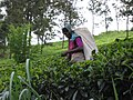 Sri Lanka-Tea plantation-14.jpg