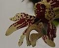 Stanhopea tigrina (35603108413).jpg