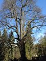 Starý strom v Zámeckém parku Kyselka 3.jpg
