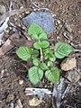 Starr-031114-0012-Rubus niveus-form a seedling-Kula-Maui (24649485696).jpg