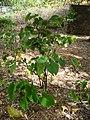 Starr-050407-6214-Piper methysticum-habit-Maui Nui Botanical Garden-Maui (24651434941).jpg
