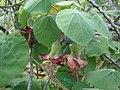 Starr-061106-1430-Abutilon menziesii-flowers and leaves-Maui Nui Botanical Garden-Maui (24774917491).jpg