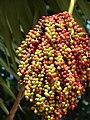 Starr-061106-1460-Pritchardia thurstonii-fruit-Maui Nui Botanical Garden-Maui (24750155902).jpg