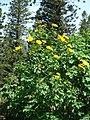 Starr-070403-6479-Tithonia diversifolia-flowering habit-Lanai City-Lanai (24886670705).jpg