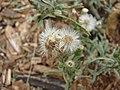 Starr-081230-0728-Conyza bonariensis-seedheads-LZ1-Kahoolawe (24901066056).jpg