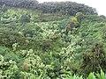 Starr-090618-1078-Aleurites moluccana-habit on hillside-Hana Hwy-Maui (24338702213).jpg