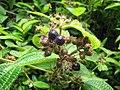 Starr-090702-2041-Clidemia hirta-fruit and leaves-Puaa Kaa Park Hana Hwy-Maui (24341513543).jpg