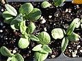 Starr-090801-3491-Cynara scolymus-seedlings in plugs-Olinda-Maui (24944554866).jpg