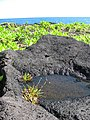 Starr-091104-0736-Fimbristylis cymosa-habit-Kahanu Gardens NTBG Kaeleku Hana-Maui (24360643263).jpg