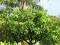 Starr-110330-3679-Fagraea berteroana-flowering and fruiting habit-Garden of Eden Keanae-Maui (24962462062).jpg