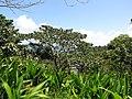 Starr-110330-4192-Ochroma pyramidale-habit-Garden of Eden Keanae-Maui (24454516883).jpg