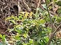 Starr-110411-5015-Myrciaria cauliflora-leaves-Hawea Pl Olinda-Maui (24964019382).jpg