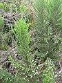 Starr-110609-6155-Erica lusitanica-leaves and flowers-Shibuya Farm Kula-Maui (25070506926).jpg