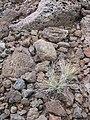Starr-110613-6672-Festuca rubra-habit-South Rim Haleakala National Park-Maui (24978859612).jpg