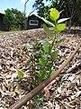 Starr-110621-6278-Vaccinium hybrid-Southern highbush cv Sharpblue habit-Hawea Pl Olinda-Maui (24729634009).jpg