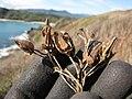 Starr-130320-3299-Nicotiana tabacum-seed capsules-Mokolea Pt Kilauea Pt NWR-Kauai (25090727852).jpg