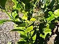 Starr-140119-3193-Citrus aurantifolia-leaf with Citrus Swallow tail butterfly larva-Hawea Pl Olinda-Maui (25146099971).jpg