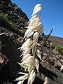 Starr-140630-4655-Avena sativa-seedheads-Sliding Sands HNP-Maui (25125785372).jpg