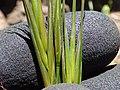 Starr-170505-0873-Bromus diandrus-seedheads-Science City-Maui (35097641601).jpg