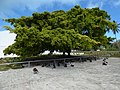 Starr-170615-0164-Ficus benjamina-large tree by Gym with Laysan Albatross chicks-Midway Mall Town Sand Island-Midway Atoll (36191785592).jpg