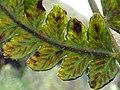 Starr-180305-0602-Deparia petersenii-frond back with sori-Kahikinui-Maui (27363393088).jpg