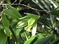 Starr-180927-5575-Vanilla planifolia-flowers-Hawea Pl Olinda-Maui (30876116137).jpg