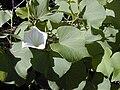 Starr 020112-0038 Ipomoea tuboides.jpg