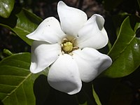 Starr 030523-0050 Gardenia brighamii