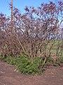 Starr 031110-0008 Leucaena leucocephala.jpg