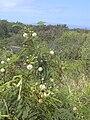 Starr 040513-0022 Leucaena leucocephala.jpg