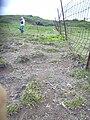 Starr 040514-0118 Cynodon dactylon.jpg