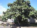 Starr 040608-0086 Hibiscus tiliaceus.jpg