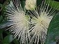 Starr 050107-2978 Syzygium jambos.jpg