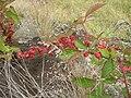 Starr 050815-3476 Rubus argutus.jpg