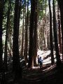 Starr 050831-7736 Sequoia sempervirens.jpg