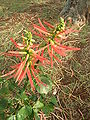 Starr 060121-5949 Erythrina berteroana.jpg