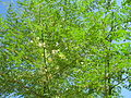 Starr 060921-9048 Moringa oleifera.jpg