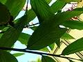 Starr 060922-9064 Alpinia purpurata.jpg