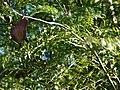 Starr 070111-3097 Jacaranda mimosifolia.jpg