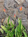 Starr 070302-4945 Heliconia psittacorum.jpg