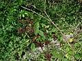 Starr 070321-5945 Triumfetta semitriloba.jpg