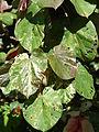 Starr 071024-0112 Hibiscus tiliaceus.jpg