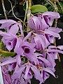 Starr 080326-3776 Unknown orchidaceae.jpg
