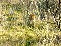 Steenbok (6521920997).jpg