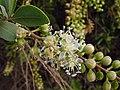 Stegnosperma halimifolium, known as Amole. (9364619661).jpg