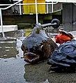 Stenbit - (Cyclopterus lumpus) - Ystad-2016.jpg