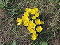 Sternbergia lutea-umbria1.jpg