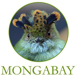Mongabay - Mongabay's mascot is the Scale-crested pygmy tyrant (Lophotriccus pileatus), a species of bird in the family Tyrannidae